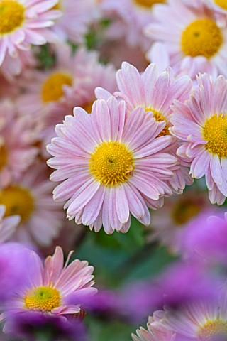 HILL_CLOSE_GARDENS_WARWICK_CLOSE_UP_OF_APRICOT_YELLOW_SEMI_DOUBLE_FLOWERS_OF_CHRYSANTHEMUM_PERRYS_PE
