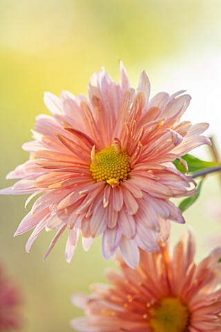HILL_CLOSE_GARDENS_WARWICK_CLOSE_UP_OF_APRICOT_PINK_FLOWERS_OF_CHRYSANTHEMUM_PERRYS_PEACH__PERENNIAL