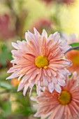 HILL CLOSE GARDENS, WARWICK: CLOSE UP OF APRICOT, PINK FLOWERS OF CHRYSANTHEMUM PERRYS PEACH . PERENNIALS, BLOOMS, BEDDING, AUTUMN, FALL, HARDY