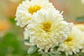 HILL CLOSE GARDENS, WARWICK: CLOSE UP OF WHITE, CREAM, YELLOW SEMI DOUBLE FLOWERS OF CHRYSANTHEMUM POESIE. PERENNIALS, BLOOMS, BEDDING, AUTUMN, FALL, HARDY