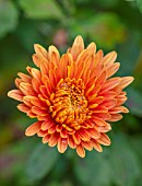 HILL CLOSE GARDENS, WARWICK: CLOSE UP OF ORANGE, TERRACOTTA FLOWERS OF CHRYSANTHEMUM PEGGY. PERENNIALS, BLOOMS, BEDDING, AUTUMN, FALL, HARDY