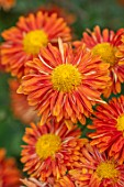 HILL CLOSE GARDENS, WARWICK: CLOSE UP OF ORANGE, TERRACOTTA FLOWERS OF CHRYSANTHEMUM BRONZE ELITE. PERENNIALS, BLOOMS, BEDDING, AUTUMN, FALL, HARDY
