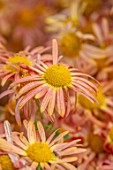 HILL CLOSE GARDENS, WARWICK: CLOSE UP OF YELLOW, PINK, APRICOT, PEACH FLOWERS OF CHRYSANTHEMUM MARY STOKER. PERENNIALS, BLOOMS, BEDDING, AUTUMN, FALL, HARDY