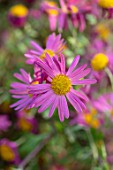 HILL CLOSE GARDENS, WARWICK: CLOSE UP OF PINK FLOWERS OF CHRYSANTHEMUM TAPESTRY ROSE. PERENNIALS, BLOOMS, BEDDING, AUTUMN, FALL, HARDY
