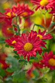 HILL CLOSE GARDENS, WARWICK: CLOSE UP OF YELLOW, RED FLOWERS OF CHRYSANTHEMUM BELLE. PERENNIALS, BLOOMS, BEDDING, AUTUMN, FALL, HARDY