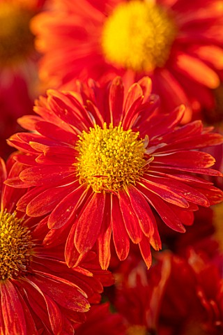 HILL_CLOSE_GARDENS_WARWICK_CLOSE_UP_OF_ORANGE_TERRACOTTA_FLOWERS_OF_CHRYSANTHEMUM_BRONZE_ELITE_PEREN