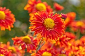 HILL CLOSE GARDENS, WARWICK: CLOSE UP OF ORANGE, TERRACOTTA FLOWERS OF CHRYSANTHEMUM TOPSY. PERENNIALS, BLOOMS, BEDDING, AUTUMN, FALL, HARDY