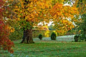 MORTON HALL GARDENS, WORCESTERSHIRE: WHITE HORSE CHESTNUT IN THE PARK, SUNRISE, ENGLISH, COUNTRY, GARDENS, LEAVES, FOLIAGE, FALL, AUTUMN