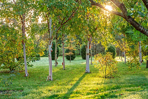 MORTON_HALL_GARDENS_WORCESTERSHIRE_MORNING_SUNLIGHT_THROUGH_BIRCH_TREES_IN_THE_PARKLAND_AUTUMN_FALL_