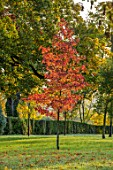 MORTON HALL GARDENS, WORCESTERSHIRE: AUTUMN COLOUR IN THE PARK WITH RED FOLIAGE OF LIQUIDAMBAR STYRACIFLUA WORPLESDON. FALL, TREES:
