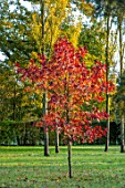 MORTON HALL GARDENS, WORCESTERSHIRE: AUTUMN COLOUR IN THE PARK WITH RED FOLIAGE OF LIQUIDAMBAR STYRACIFLUA WORPLESDON. FALL, TREES
