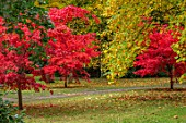 THORP PERROW ARBORETUM, YORKSHIRE: RED LEAVES, FOLIAGE OF MAPLES IN AUTUMN, FALL, TREES, ACERS, ACER PALMATUM OZAKAZUKI