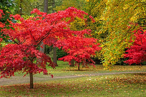 THORP_PERROW_ARBORETUM_YORKSHIRE_RED_LEAVES_FOLIAGE_OF_MAPLES_IN_AUTUMN_FALL_TREES_ACERS_ACER_PALMAT