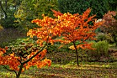 THORP PERROW ARBORETUM, YORKSHIRE: AUTUMN COLOUR OF JAPANESE MAPLES IN THE WOODLAND, ACERS, FALL