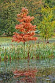 THORP PERROW ARBORETUM, YORKSHIRE: LAKE, WATER, SWAMP CYPRESS, TAXODIUM DISTICHUM, BULLRUSHES, AUTUMN, FALL, FOLIAGE, REFLECTIONS, REFLECTED