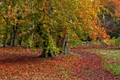 THORP PERROW ARBORETUM, YORKSHIRE: BEECH TREES IN AUTUMN, FALL, FOLIAGE, LEAVES, TREES