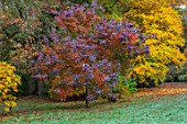 THORP PERROW ARBORETUM, YORKSHIRE: AUTUMN COLOURS, COTINUS, LAWN, GRASS, FALL, FOLIAGE
