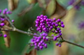 THORP PERROW ARBORETUM, YORKSHIRE: CLOSE UP PLANT PORTRAIT OF PURPLE BERRIES OF CALLICARPA BODINIERI VAR. GIRALDII PROFUSION. BEAUTYBERRY, SHRUBS, BERRY