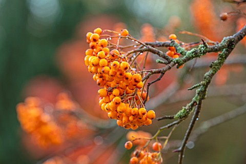 THORP_PERROW_ARBORETUM_YORKSHIRE_CLOSE_UP_PLANT_PORTRAIT_OF_ORANGE_BERRIES_OF_SORBUS_SUNSHINE_BERRY_