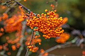 THORP PERROW ARBORETUM, YORKSHIRE: CLOSE UP PLANT PORTRAIT OF ORANGE BERRIES OF SORBUS SUNSHINE. BERRY, FRUITS, ROWAN, MOUNTAIN ASH, TREES, FALL, AUTUMN