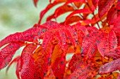 THORP PERROW ARBORETUM, YORKSHIRE: CLOSE UP PLANT PORTRAIT OF RED LEAVES OF SORBUS SARGENTIANA. MOUNTAIN ASH, ROWAN, TREES, FALL, AUTUMN