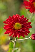NORWELL NURSERIES, NOTTINGHAMSHIRE: CLOSE UP PORTRAIT OF THE RED FLOWERS OF HARDY CHRYSANTHEMUM EDMUND BROWN, PERENNIALS, FALL, BLOOMS