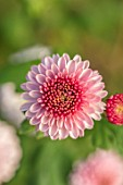 NORWELL NURSERIES, NOTTINGHAMSHIRE: CLOSE UP PORTRAIT OF THE PINK FLOWERS OF HARDY CHRYSANTHEMUM MAVIS, PERENNIALS, FALL, BLOOMS