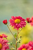 NORWELL NURSERIES, NOTTINGHAMSHIRE: CLOSE UP PORTRAIT OF THE PINK FLOWERS OF HARDY CHRYSANTHEMUM DULWICH PINK, PERENNIALS, FALL, BLOOMS