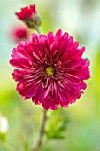 NORWELL NURSERIES, NOTTINGHAMSHIRE: CLOSE UP PORTRAIT OF THE PINK, RED, FLOWERS OF HARDY CHRYSANTHEMUM ROTER SPRAY, PERENNIALS, FALL, BLOOMS