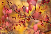 CLOSE UP PORTRAIT OF EUONYMUS ALATUS FRUITS, AUTUMN, FALL, HARDY, BUSH, SHRUBS, ORANGE, SPINDLE, BERRIES, BERRY