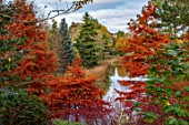 BODENHAM ARBORETUM, WORCESTERSHIRE: AUTUMN COLOURS BESIDE THE BIG POOL. SWAMP CYPRESSES, TAXODIUM DISTICHUM, TREES, FALL, FOLIAGE, WATER, LAKE, LEAVES, ORANGE, GOLDEN