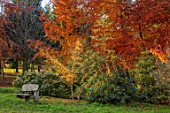 BODENHAM ARBORETUM, WORCESTERSHIRE: WOODEN BENCH, SEAT, YELLOW BERRIED HOLLY, ILEX, HOLLIES, BEECH TREES, BETULA,  AUTUMN, FALL, FOLIAGE