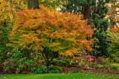 MORTON HALL, WORCESTERSHIRE: AUTUMN, FALL: LAWN, GRASS, ACER PALMATUM SEIRYU, MAPLES, JAPANESE, BORDER, TREES, SHRUBS