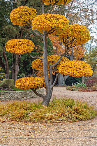 THE_OLD__RECTORY_QUINTON_NORTHAMPTONSHIRE_FALL_AUTUMN_CLIPPED_TOPIARY_CLOUD_PRUNED_PARROTIA_PERSICA_