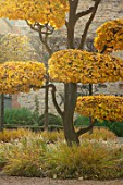 THE OLD  RECTORY, QUINTON, NORTHAMPTONSHIRE: FALL, AUTUMN, CLIPPED TOPIARY, CLOUD PRUNED PARROTIA PERSICA - PERSIAN IRONWOOD TREE, GOLDEN, ORANGE, BROWN, FOLIAGE