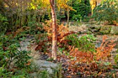 MORTON HALL GARDENS, WORCESTERSHIRE: STROLL GARDEN, WINTER. AUTUMN, PATH, BARK, TRUNK OF BETULA UTILIS WAKEHURST PLACE CHOCOLATE, OSMUNDA REGALIS, ROYAL FERN
