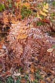 MORTON HALL GARDENS, WORCESTERSHIRE: STROLL GARDEN, WINTER. AUTUMN, OSMUNDA REGALIS, ROYAL FERN, FROST, FROSTED, BROWN, LEAVES, FOLIAGE