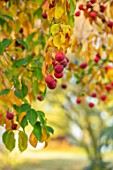 MORTON HALL GARDENS, WORCESTERSHIRE: STROLL GARDEN, WINTER. AUTUMN, RED FRUITS, BERRIES, CORNUS KOUSA NORMAN HADDEN, DOGWOODS, DECIDUOUS, TREES, SHRUBS