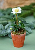 DAYLESFORD ORGANIC, GLOUCESTERSHIRE: WHITE FLOWERS OF HELLEBORUS NIGER, LENTEN ROSE, CHRISTMAS ROSE, IN TERRACOTTA CONTAINER, ON TABLE