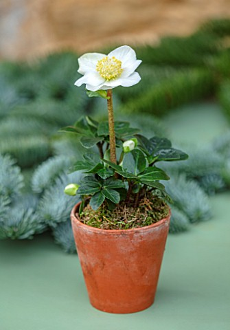 DAYLESFORD_ORGANIC_GLOUCESTERSHIRE_WHITE_FLOWERS_OF_HELLEBORUS_NIGER_LENTEN_ROSE_CHRISTMAS_ROSE_IN_T