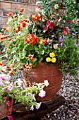 TERRACOTTA CONTAINER BURSTING WITH SUMMER COLOUR: ZONAL PELARGONIUMS  NEMESIA & TAGETES. DESIGNER: JO PASSMORE