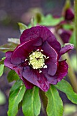 MORTON HALL GARDENS, WORCESTERSHIRE: CLOSE UP OF DARK, RED FLOWRS OF HELLEBORE HARVINGTON HYBRID, JANUARY, WOODLAND, SHADE, PERENNIAL