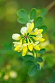 MORTON HALL GARDENS, WORCESTERSHIRE: CLOSE UP PORTRAIT OF PALE YELLOW, LEMON FLOWERS OF CORONILLA VALENTINA SUBSP. GLAUCA CITRINA. EVERGREEN, SHRUBS, WINTER, JANUARY, GREEN