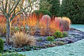ST TIMOTHEE, BERKSHIRE - LAWN, FROST, FROSTY, WINTER, JANUARY, BED, BORDER, RED STEMS OF CORNUS SANGUINEA MIDWINTER FIRE, DOGWOODS, STEMS