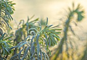 ST TIMOTHEE, BERKSHIRE - CLOSE UP PORTRAIT OF EUPHORBIA CHARACIAS SUBSP.WULFENII, WINTER, FROST, FROSTY, PERENNIALS, EVERGREENS