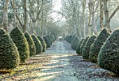 BRYANS GROUND, HEREFORDSHIRE - THE POPLAR AVENUE, CRICKET WOOD, POPLARS, POPULUS ALBA, HEDGES, HEDGING, FROST, FROSTY, WINTER, FORMAL, PATH