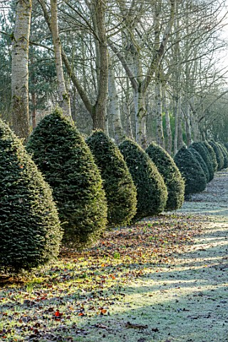 BRYANS_GROUND_HEREFORDSHIRE__THE_POPLAR_AVENUE_CRICKET_WOOD_POPLARS_POPULUS_ALBA_HEDGES_HEDGING_FROS