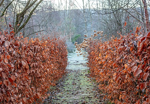 BRYANS_GROUND_HEREFORDSHIRE__BEECH_AVENUE_HEDGES_HEDGING_FROST_FROSTY_WINTER_FORMAL_PATH