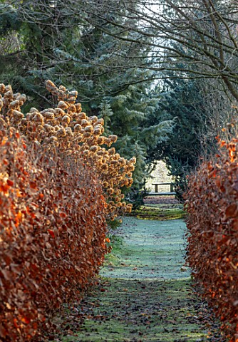 BRYANS_GROUND_HEREFORDSHIRE__BEECH_AVENUE_HEDGES_HEDGING_HYDRANGEA_FROST_FROSTY_WINTER_FORMAL_PATH