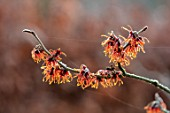 BRYANS GROUND, HEREFORDSHIRE - CLOSE UP PORTRAIT OF THE ORANGE FLOWERS OF WITCH HAZEL, HAMAMELIS X INTERMEDIA JELENA, YELLOW, SHRUBS